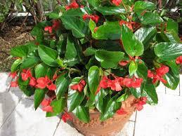 begonia begonias plants