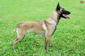 belgian sheepdog breeds belgian malinois shepherd dog temperament and handling pets4homes