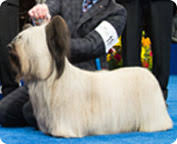 australian shepherd 2015 westminster best in show