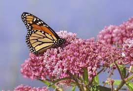monarch butterflies threatened by gm crops in u s study says