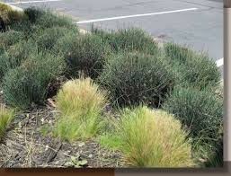 cutting back ornamental grasses g r landscape architect