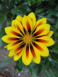 Daisy The Flower - flowers gazania yellow orange striped daisy like flower closeup