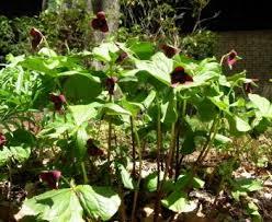 trillium sulcatum north american rock garden society
