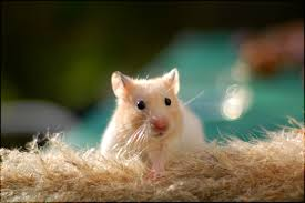 cute hamster wallpapers wallpaper cave