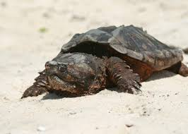 turtle soup disappeared because people ate too many turtles