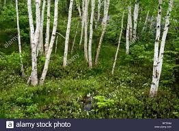 grove of white birch trees and flowering labrador tea in