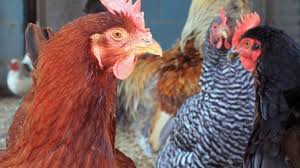 How To Raise Backyard Chickens For Eggs Common Egg Layer Health Problems U2013 Poultryone Guide To Raising