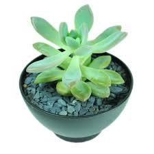succulent facts zen z002 micro plant studio