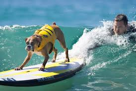 boxer dog 2015 surf u0027s up for these dogs in southern california