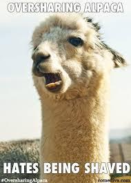 Alpaca Meme - new meme oversharing alpaca comediva