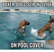 Boxer Meme - boxer dogs slip n slide on pool cover meme on me me