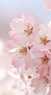 best 20 cherry blossom wallpaper ideas on pinterest u2014no signup