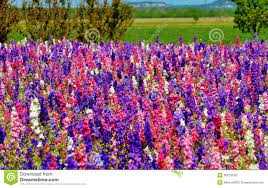 wild flowers in wild meadows colorful rocket flowers with blue skies royalty free stock photos
