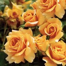 rosa patio tree roses orange flower color boething