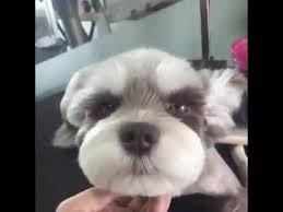 schnauzers hair cuts cutest dog enjoys getting a haircut youtube