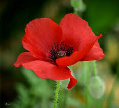 poppies flowers 781 best poppies images on poppies flowers and