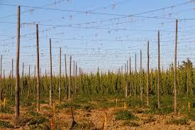 hop harvest 2015 lagunitas brewing company