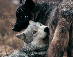 wolves animals wolf and creatures