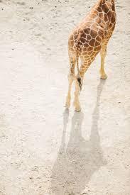 Zoo Lights Oakland Zoo by Best 25 Oakland Zoo Ideas On Pinterest