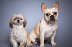 affenpinscher with underbite peekapoo dog breed information pictures characteristics u0026 facts