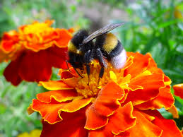 file a bumble bee on a flower jpg wikimedia commons