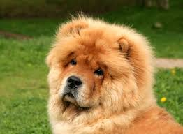 lion dogs fascinating dog breed name origins reader s digest
