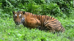 can tigers claw their way back from extinction cnn