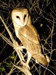 eastern barn owl wikipedia