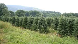 interesting facts about the north carolina christmas tree industry