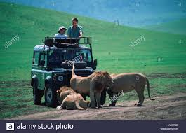 african jeep safari jeep and african lion stock photo royalty free image