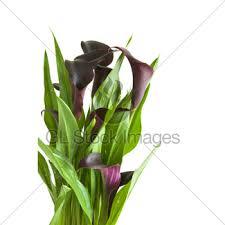 black calla purple black calla plant in bright purple pot gl