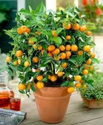 best 25 miniature fruit trees ideas on fruit