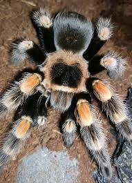 tarantula reptiles rehome buy and sell in the uk and ireland