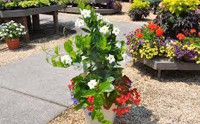 Mandevilla Plant Diseases - mandevilla up up u0026 away mcdonald garden center