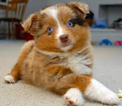 australian shepherd with blue eyes 55 adorable australian shepherd dog images and pictures
