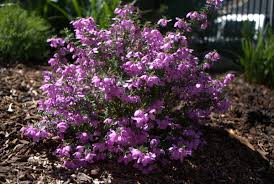 australian native plants with purple flowers tetratheca thymifolia at its best mallee design