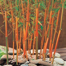 286 best bamboo species pictures images on bamboo