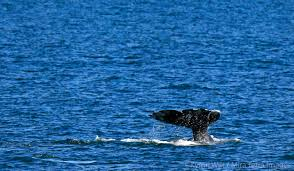 how to make the best of whale watching season in san diego