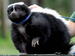 pepe le huge pet skunk on strict diet after ballooning on diet of