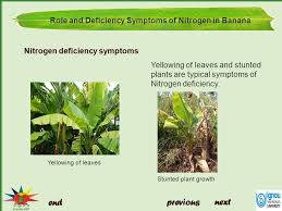 Deficiency Diseases In Plants - role and deficiency symptoms of nitrogen in banana ppt video