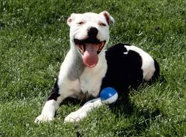 american pitbull terrier ireland american pitbull terrier a powerful dogs adogbreeds com
