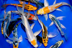 butterfly koi hydrosphere the koi pond experts
