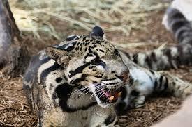 ¡Se extinguio el Leopardo Nublado!