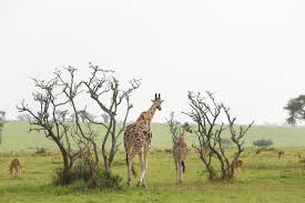 to save giraffes we may need to put our necks out science