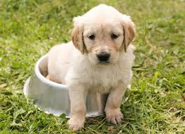 Comfort Retrievers English Cream Golden Retrievers The Shocking Truth Dog Breed