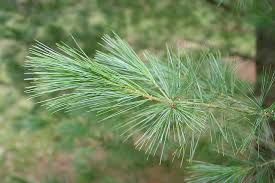 white pine tree michigan state tree eastern white pine