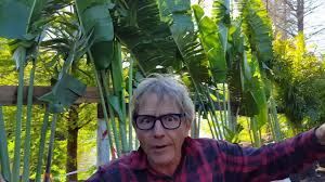 ken s palm trees in st petersburg fl privacy creating palms mar 20