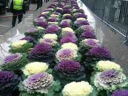 glorious ornamental kale the smarter gardener