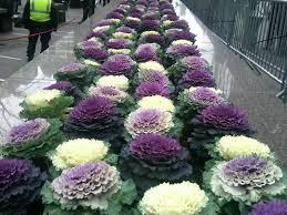 image gallery ornamental kale