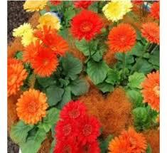 Flower Seeds Online - buy gerbera micro mini seeds online at cheap price india u0027s
